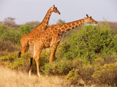 Poster Due Giraffa reticolata mangiare foglie da cespugli