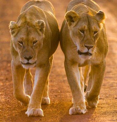Poster Due leonesse a piedi sulla strada nel parco nazionale. Kenya. Tanzania. Masai Mara. Serengeti. Un ottimo esempio.