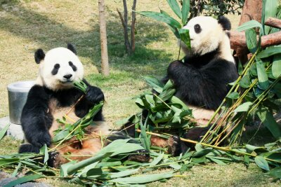 Poster Due panda che mangiano bambù