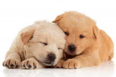 Poster Due simpatici cuccioli di Chow-chow, isolato su sfondo bianco