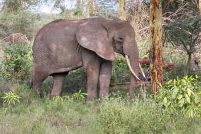 Poster Elefante adulto con grandi zanne stare nel profilo vicino tronco d'albero. Lago Manyara National Park, Tanzania, Africa.