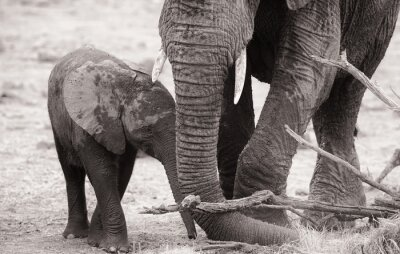 Poster Elefante africano vitello