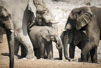 Poster Elefante in Etosha National Park.