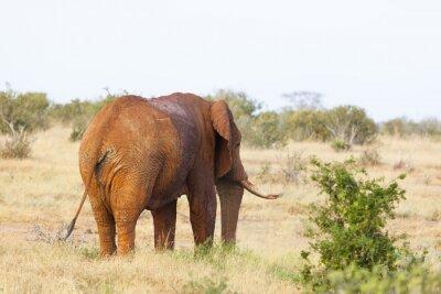 Poster Elefante rosso africano in Kenya
