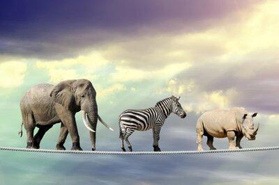 Poster Elefanti, zebre, rinoceronti camminare su una corda