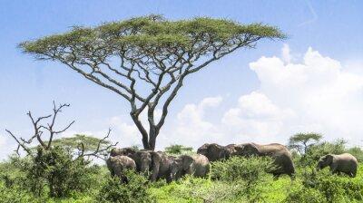Poster elefantino mettersi al passo con la sua mandria di elefanti in piedi sotto un albero di acacia sul paesaggio Serengeti Savannah