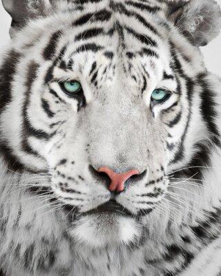 Poster Elegante ritratto tigre bianca