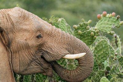 Poster Elephant mangiare fico d'India