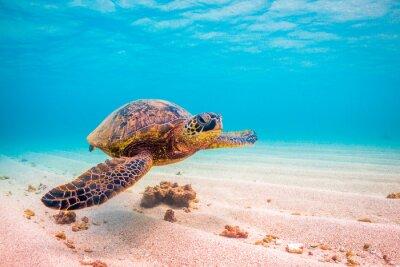 Poster Endangered Hawaiian crociere Green Sea Turtle nelle acque calde del Pacifico alle Hawaii