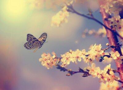 Poster Farfalla e fiore di ciliegio