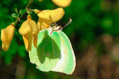 Poster Farfalla Gonepteryx cleopatra