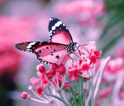 Poster Farfalla sul fiore d'arancio
