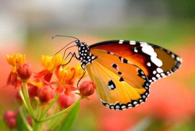 Poster Farfalla sul fiore d'arancio nel giardino