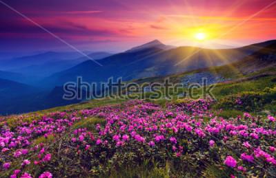 Poster Fiori rosa magici del rododendro sulla montagna di estate