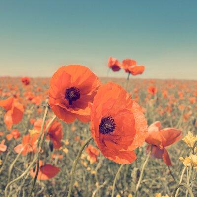 Poster Foto d'epoca di paesaggio estivo con fiori selvatici papavero.