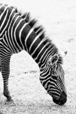 Poster Foto in bianco e nero della zebra