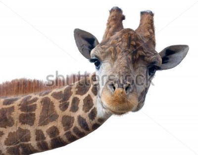 Poster Fronte della testa della giraffa isolato su fondo bianco