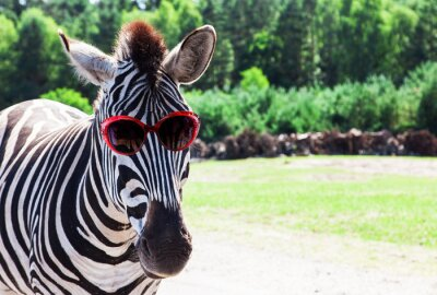 Poster Funny Zebra with sunglasses