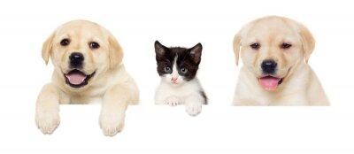 Poster gattino e cucciolo Labrador fa capolino