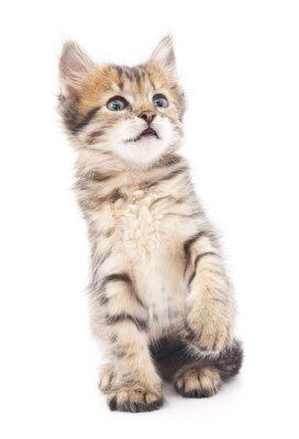 Poster gattino grigio giocato.