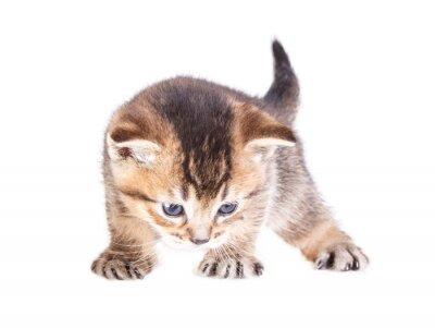 Poster gattino isolato su bianco