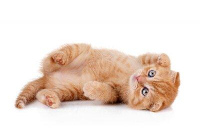 Poster Gattino rosso su uno sfondo bianco