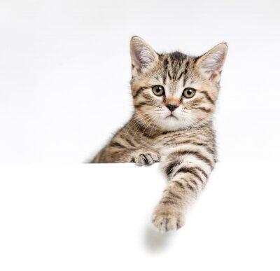 Poster Gatto o gattino isolato dietro il cartello bianco