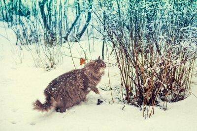 Poster Gatto siberiano a piedi nel bosco innevato