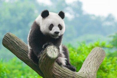 Poster Giant arrampicata panda bear in albero