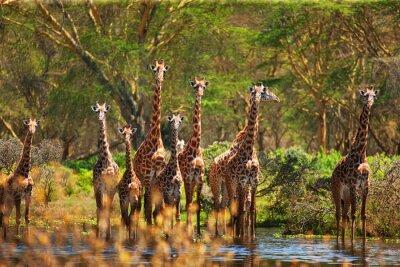 Poster giraffa