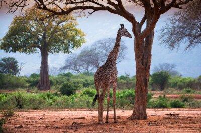 Poster Giraffa con baobab