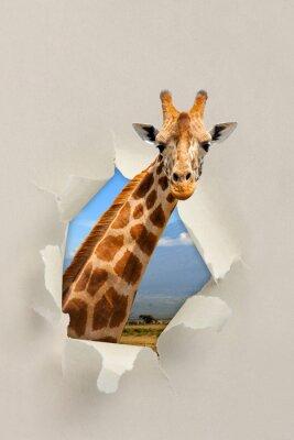 Poster Giraffa guardando attraverso un buco strappato la carta
