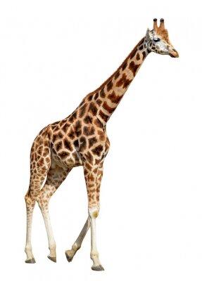 Poster giraffa isolato su sfondo bianco