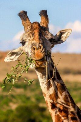 Poster giraffa mangiare