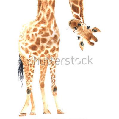 Poster Giraffa realistica fatta in acquerello. AVVICINAMENTO. Illustrazione disegnata a mano