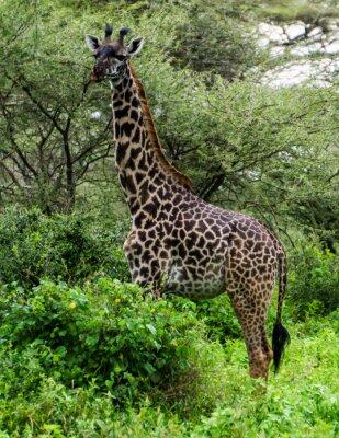 Poster giraffa tra gli alberi di acacia nel Serengeti