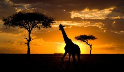 Poster Giraffe al tramonto nella savana. Kenya.