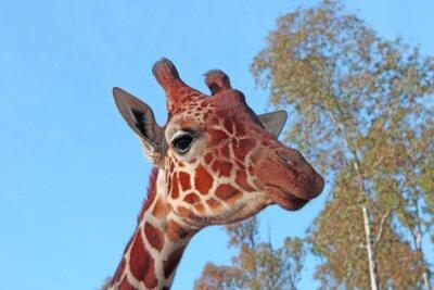 Poster Giraffe foto