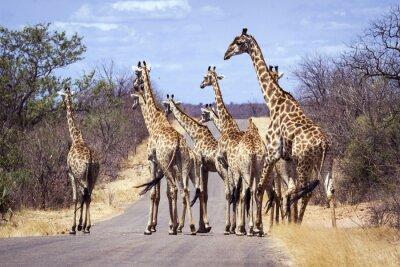 Poster Giraffe nel Kruger National Park