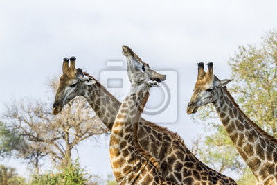 Poster Giraffe nel Kruger National Park, Sud Africa