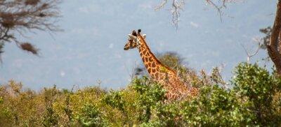 Poster Giraffe nel Parco Nazionale Tsavo Est
