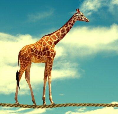 Poster giraffe sulla corda
