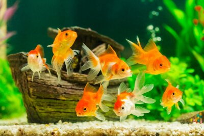 Poster Goldfish in aquarium with green plants
