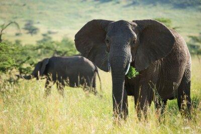 Poster Grande elefante africano nel parco nazionale Serengeti