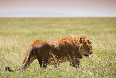 Poster Grande giovane leone nel parco nazionale del Serengeti
