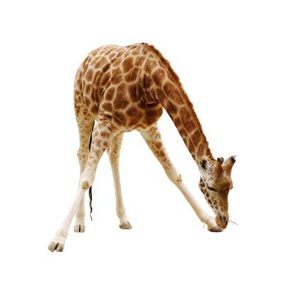Poster grande giraffa isolato su uno sfondo bianco