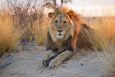 Poster Grande leone maschio africano, deserto del Kalahari