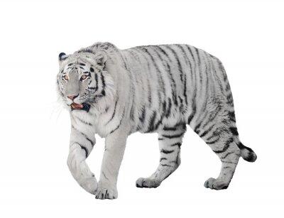 Poster grande tigre albina isolato su bianco