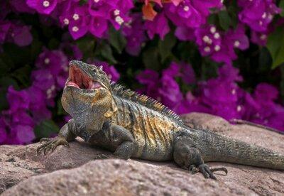 Poster Green Iguana (Iguana iguana) prendere il sole su una roccia