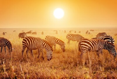 Poster Gregge Zebre sulla savana africana al tramonto.